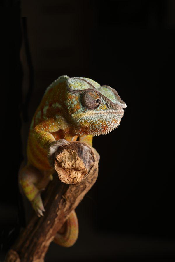 Кои видове животни могат да бъдат отглеждани като домашни любимци?